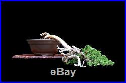 BONSAI TREE CASCADE JAPANESE JUNIPER'TOKONAME' POT from HARRY HIRAO COLLECTION