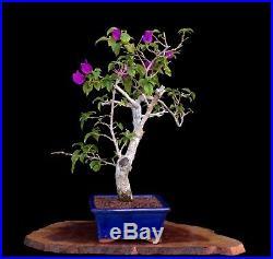 BONSAI TREE CHUHIN BOUGAINVILLEA in GLAZED BLUE YIXING POT