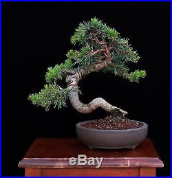 BONSAI TREE CHUHIN CEDAR OF LEBANON in JAPANESE 'YAMAAKI' Pot