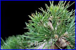 BONSAI TREE CHUHIN JAPANESE BLACK PINE with 2 TRUNK in YIXING CLAY POT