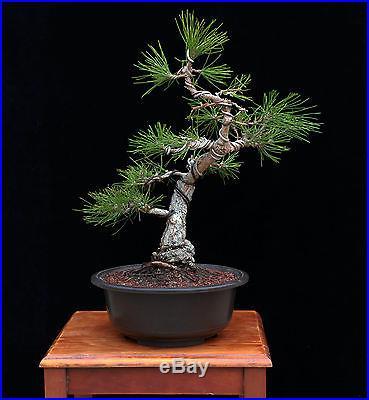 BONSAI TREE CHUHIN JAPANESE BLACK PINE with 3 BASE