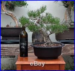 BONSAI TREE CHUHIN JAPANESE BLACK PINE with OLD FAT TRUNK