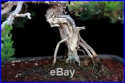 BONSAI TREE CHUHIN JAPANESE JUNIPER with DEADWOOD