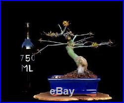 BONSAI TREE CHUHIN JAPANESE RED MAPLE with 2 TRUNK in GLAZED BLUE POT