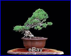 BONSAI TREE CHUHIN KISHU SHIMPAKU JUNIPER from the KENJI MIYATA COLLECTION