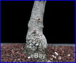 BONSAI TREE CHUHIN OAK in JAPANESE CLAY POT