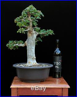BONSAI TREE CLASSIC INFORMAL UPRIGHT TRIDENT MAPLE with 2 ¾ TRUNK