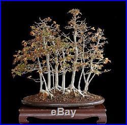 BONSAI TREE CLASSIC TRIDENT MAPLE FOREST in FINE TOKONAME SENKOEN POT