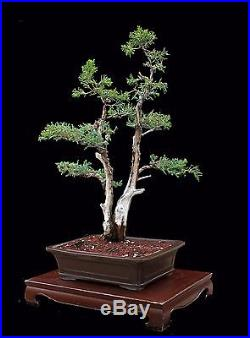 BONSAI TREE COLLECTED CALIFORNIA TWIN TRUNK JUNIPER in BIG CLAY POT