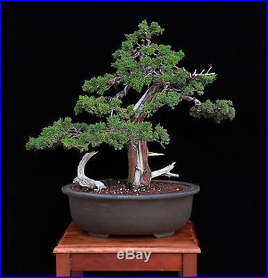 BONSAI TREE COLLECTED SHIMPAKU JUNIPER in JAPANESE BONSAI POT