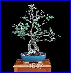 BONSAI TREE FLOWERING PEAR with 2 ½ TRUNK