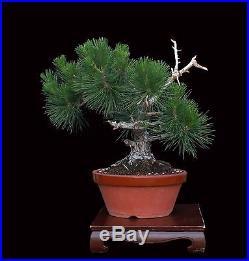 Bonsai Tree Harry Hirao Mikawa Japanese Black Pine