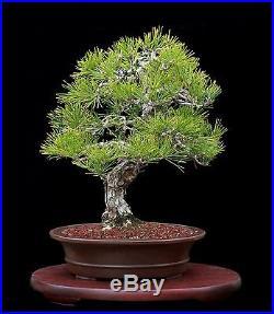 BONSAI TREE HARRY INAMI MIKAWA JAPANESE BLACK PINE in TOKONAME POT