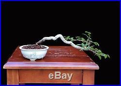 BONSAI TREE INDOOR/OUTDOOR CASCADING ELM in TOKONAME POT