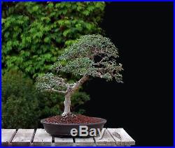 Indoor Bonsai :: BONSAI TREE INDOOR/OUTDOOR CATLIN ELM in