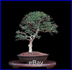 BONSAI TREE INDOOR/OUTDOOR CATLIN ELM in YIXING CLAY POT