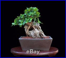 Bonsai Tree Indoor/outdoor Root Over Rock Ficus