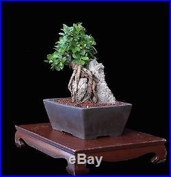 Indoor Bonsai :: Bonsai Tree Indoor/outdoor Root Over Rock