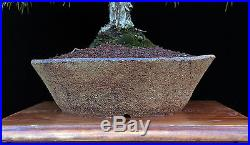 BONSAI TREE JAPANESE BLACK PINE in CUSTOM MADE CERAMIC POT