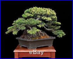 BONSAI TREE JAPANESE JUNIPER ROOT OVER ROCK & TOKONAME POT