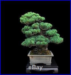 BONSAI TREE JAPANESE WHITE PINE GRAFTED TO MIKAWA BLACK PINE in TOKONAME POT
