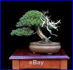 BONSAI TREE KENJI MIYATA JAPANESE JUNIPER (Nana) MASTERPIECE