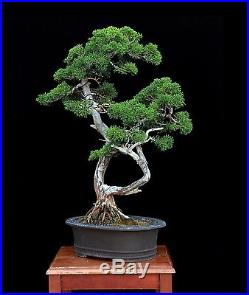 BONSAI TREE KISHU SHIMPAKU JUNIPER TWIN TRUNK & JAPANESE POT