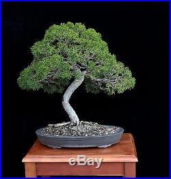 BONSAI TREE KISHU SHIMPAKU JUNIPER in TOKONAME 'YAMAAKI' Clay Pot