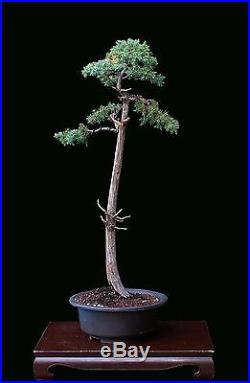 Bonsai Tree Literati (bunjin) Style Foemina Juniper