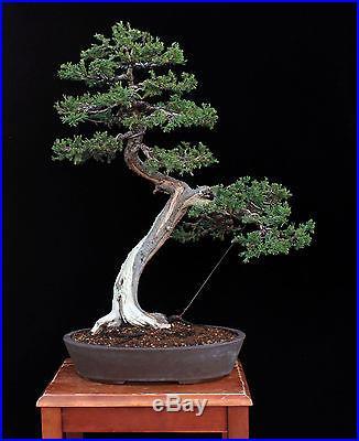 BONSAI TREE LITERATI (BUNJIN) STYLE JUNIPER