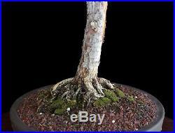 BONSAI TREE LITERATI (BUNJIN) STYLE PROSTRATA JUNIPER in DRUM POT