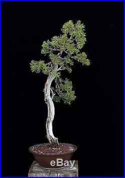 BONSAI TREE LITERATI CALIFORNIA JUNIPER in JAPANESE TOKONAME POT