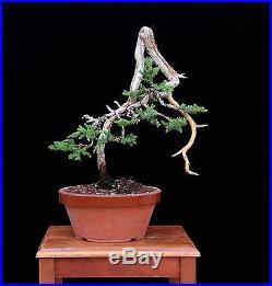 BONSAI TREE LITERATI JUNIPER with DEADWOOD