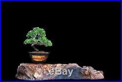 BONSAI TREE MAME/SHOHIN KISHU JUNIPER in JAPANESE CLAY POT