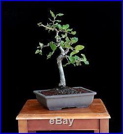 BONSAI TREE OAK in JAPANESE POT