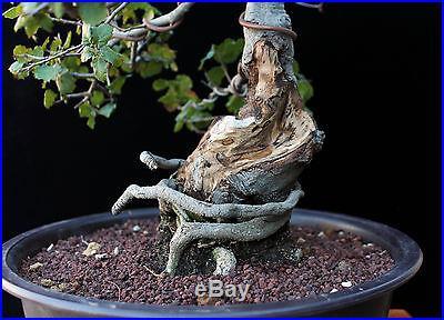 BONSAI TREE OAK with 3 HOLLOW TRUNK