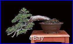 BONSAI TREE OLD CASCADE PROSTRATA JUNIPER in TOKONAME POT