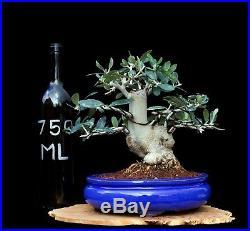 BONSAI TREE OLD CHUHIN OLIVE with 3.5 BASE in FINE GLAZED BLUE POT