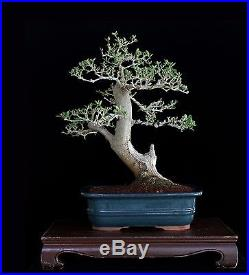 BONSAI TREE OLD COLLECTED OLIVE with DEADWOOD and 3.5 TRUNK