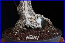 BONSAI TREE OLD COLLECTED OLIVE with DEADWOOD and 8 TRUNK