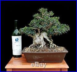BONSAI TREE OLD COLLECTED SUMO OLIVE in RARE TAISHO ERA-KINKA TOKONAME POT