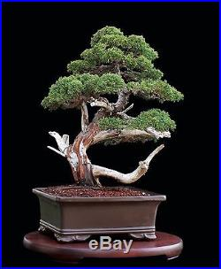 BONSAI TREE OLD GRAFTED KISHU SHIMPAKU JUNIPER with 3 Trunk