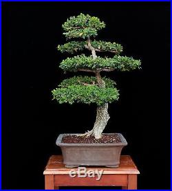 BONSAI TREE OLD INFORMAL UPRIGHT BOXWOOD in BIG CLAY POT