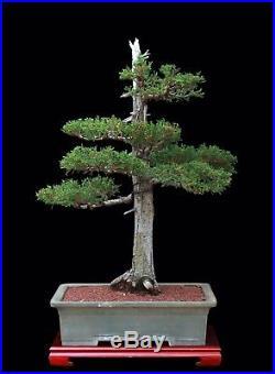 BONSAI TREE OLD JAPANESE CEDAR in TOKONAME POT