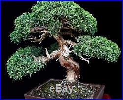 BONSAI TREE OLD KISHU SHIMPAKU JUNIPER from the KENJI MIYATA Collection