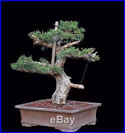 BONSAI TREE OLD PROSTRATA JUNIPER with 3.5 TRUNK in JAPANESE POT