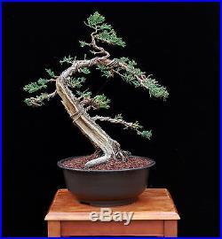BONSAI TREE OLD PROSTRATA JUNIPER with 3 HOLLOW TRUNK