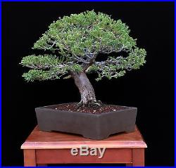 BONSAI TREE OLD SAN JOSE JUNIPER with 2.25 TRUNK