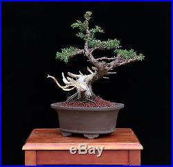 BONSAI TREE OLD SAN JOSE JUNIPER with 2 ½ TRUNK