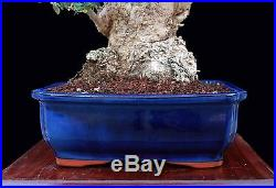 BONSAI TREE OLD SUMO COLLECTED OLIVE with 6 Base in GLAZED BLUE POT